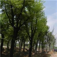 常年出售朴树。龙柏,蜀桧。