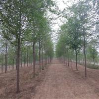 供应各种规格榆树量大