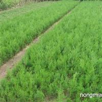 核桃苗、国槐苗、山楂苗、钙果苗、白皮松、
