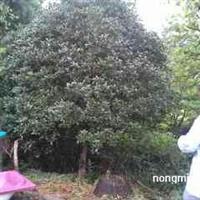 香樟5-80 女贞5-50 朴树12-80 枫香12-80