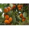 3年以上的柿子树 苹果树 山楂树