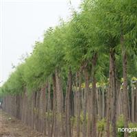 供应山西柳树,山西柳树价格,山西柳树图片