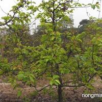 供应;梨树苗,2014年较新梨树苗价格。占地梨树