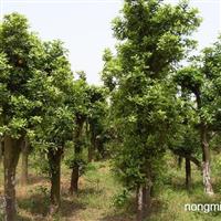 洪海园林米径50厘米香樟树低价促销