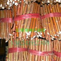 红珊瑚柳苗