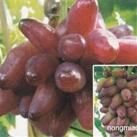买好葡萄苗就到安徽庄顺果树