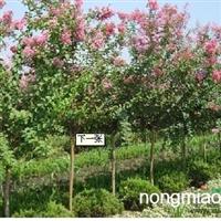 安徽紫薇,红花紫薇,肥西米径3-7紫薇