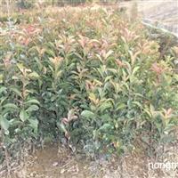 安徽大量供应椤木石楠苗