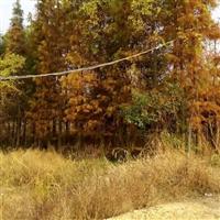 江西南昌大量供应池杉