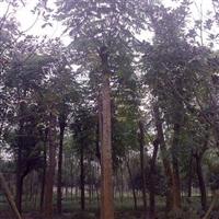 供应栾树 成都摇钱树 10-30公分
