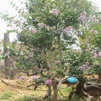 长期供应高杆冬青、紫薇、马褂树、黄杨等苗木、