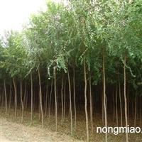 榆树苗,榆树苗价格,榆树苗基地,榆树苗市场
