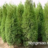 安徽-松树