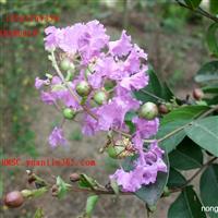 大量供应花灌木种子 紫薇种子 林木草坪牧草种子 荷花植物种子