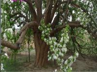 八棱海棠树供应商亿森