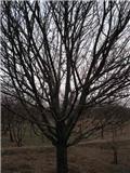 【八棱海棠树】 原产地    吕庭13294033192