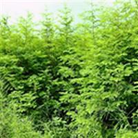 供应水杉小苗、及水杉地径苗