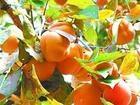 供应3-10公分柿子树 柿子苗