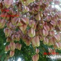 最新供应优质林木种子,栾树种子,大叶女贞种子
