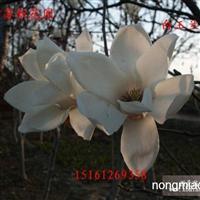 沭阳苏新花园白玉兰 望春花大量供应 欢迎前来选购!