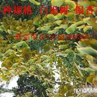 新采摘银杏种子百日红种子林木草坪牧草种子
