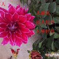 花卉种球大丽花/仙客来/郁金香/菊花