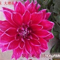 大量供应菊花/大丽花/大丽菊/紫丽人/金丝菊