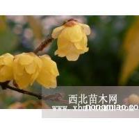 诗雅园林供应2米冠幅丛生腊梅