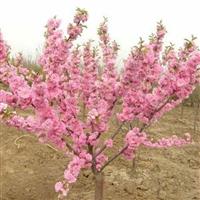 供应榆叶梅、珍珠梅、金丝梅、五色梅、红叶桃等