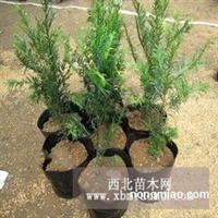 正宗曼地亚红豆杉,红豆杉苗,盆栽红豆杉