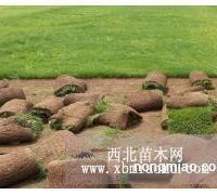 供应马蹄金草坪,马蹄金种子