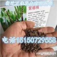 造林护坡绿化最佳品种:紫穗槐种子