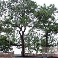 供应苦楝树