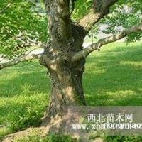 供应:乌桕树12、15、18、20、25公分