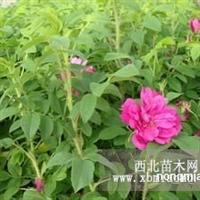 楚景园林供应玫瑰20~50高