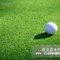 高尔夫球草种子、早熟禾种子、白三叶种子