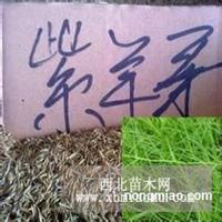 紫羊茅种子、苇状羊毛种子、草地早熟禾种子、无芒雀麦种子价格