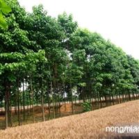 楸树直销 江苏沭阳盛大苗木场供应楸树 货源充足