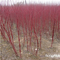 红瑞木直销 江苏沭阳盛大苗木场供应红瑞木 货源充足