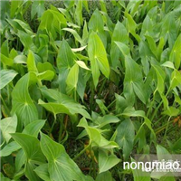 江苏沭阳盛大苗木场供应慈菇 货源充足