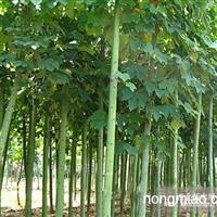 江苏青桐树价格低廉,品质优良