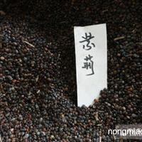 供应紫荆种子,各种灌木种子,规格齐全