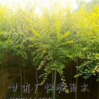 甘肃农户自产自销胸径2-5公分的金叶榆