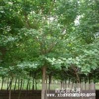 五角枫小苗2,3公分苗大叶黄杨球红叶石兰球