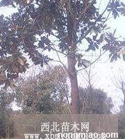 山东/青岛广玉兰价格