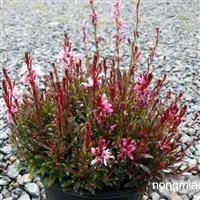 供应地被植物-紫叶千鸟花,又名紫叶山桃草