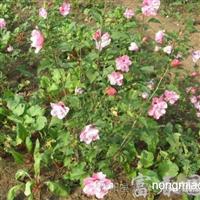 绿化灌木木槿,江苏木槿,别名:无穷花,沙漠玫瑰