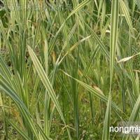 供应水生植物花叶香蒲,花叶香蒲苗,苏北花叶香蒲