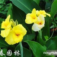 供应水生植物青叶美人蕉,大量出售青叶美人蕉苗