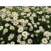 供应地被植物-雏菊,别名春菊,马兰头花,幸福花